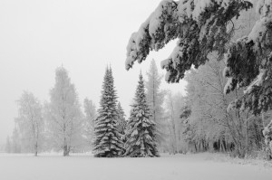forest-snow-winter-spruce-tree-300x199
